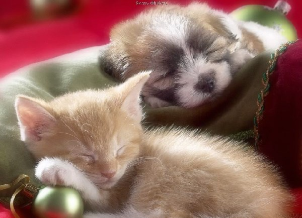 Christmas kitten and puppy